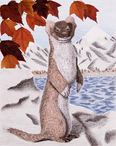 Ferrets Drawing - Weasel In Fall by Jeanette K