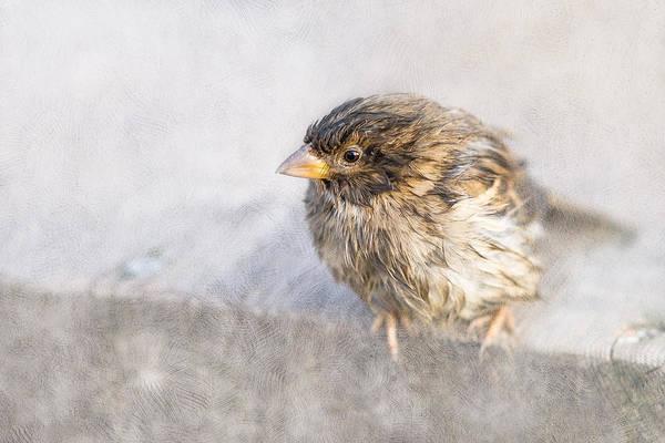 House Sparrow Photograph - Weather Forecast Epic Fail by Alexander Senin