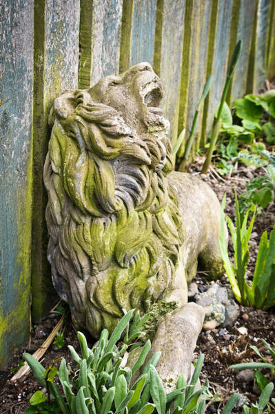 Photograph - Weathered Lion by Priya Ghose