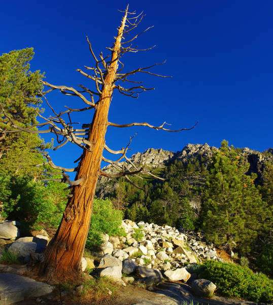 Photograph - Weathered Sierra Nevada Tree by Scott McGuire