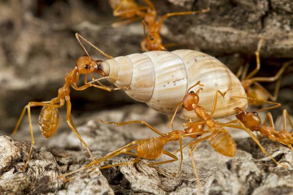 Photograph - Weaver Ants Carrying Snail Gorongosa by Piotr Naskrecki