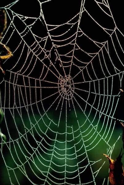 Wall Art - Photograph - Web Of Araneus Diadematus by Dr Jeremy Burgess/science Photo Library