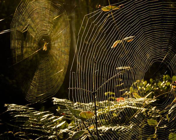 Golden Orb Spider Photograph - Webs by Kyle Wasielewski