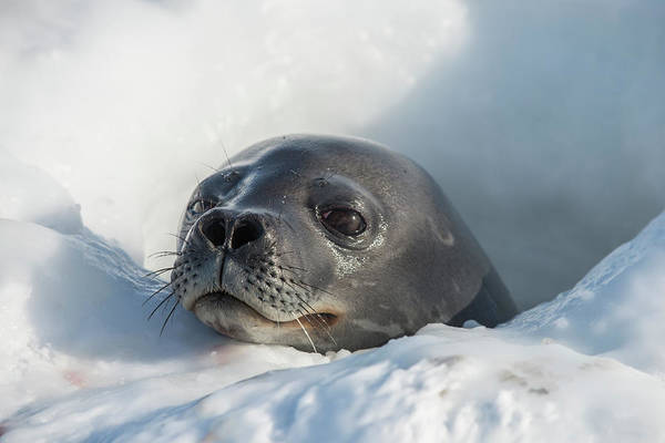 Wall Art - Photograph - Weddell Seal At A Sea Ice Hole by Alasdair Turner