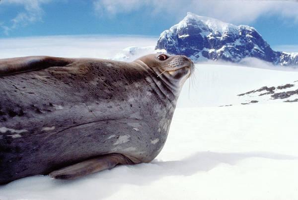 Wall Art - Photograph - Weddell Seal by Robert Hernandez