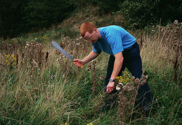 Biological Pest Control Photograph - Weed Control by Andy Harmer/science Photo Library