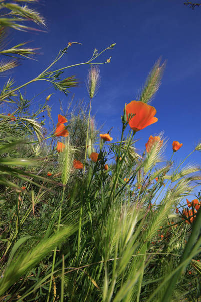 Annual Photograph - Weeds And Poppies From Worms-view by Tom Norring