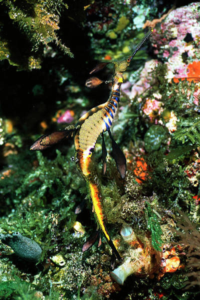 Seadragon Photograph - Weedy Sea Dragon by Peter Scoones/science Photo Library