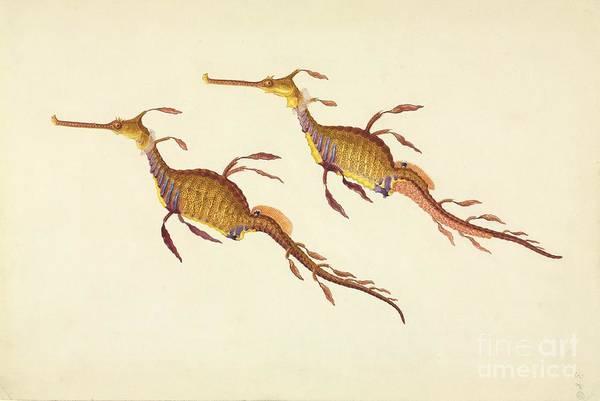 Seadragon Photograph - Weedy Seadragon, 19th Century by Natural History Museum, London