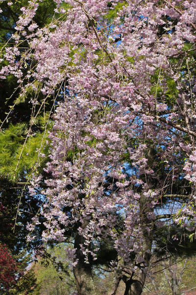 Photograph - Weeping Cherry Tree by Julie Andel