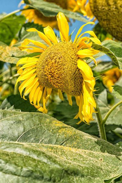 Weeping Sunflower Art Print