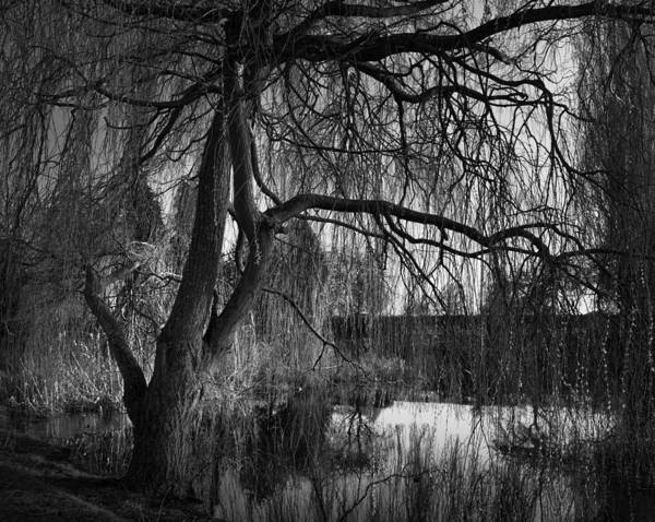 Weeping Willow Wall Art - Photograph - Weeping Willow Tree by Ian Barber
