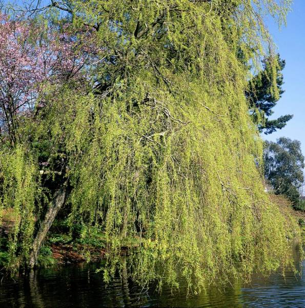 Weeping Willow Wall Art - Photograph - Weeping Willow Tree by Neil Joy/science Photo Library