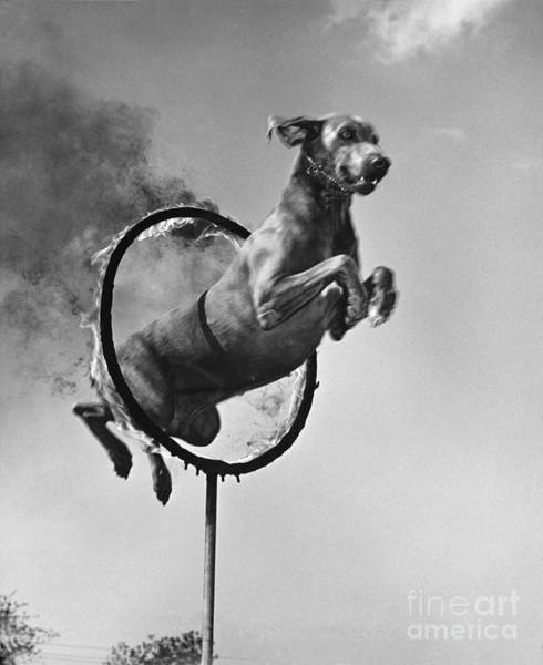 Photograph - Weimaraner Jumping Through A Ring by M E Browning