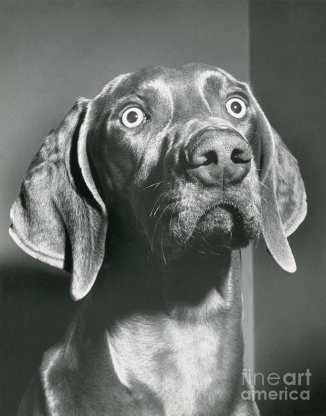 Photograph - Weimaraner by ME Browning