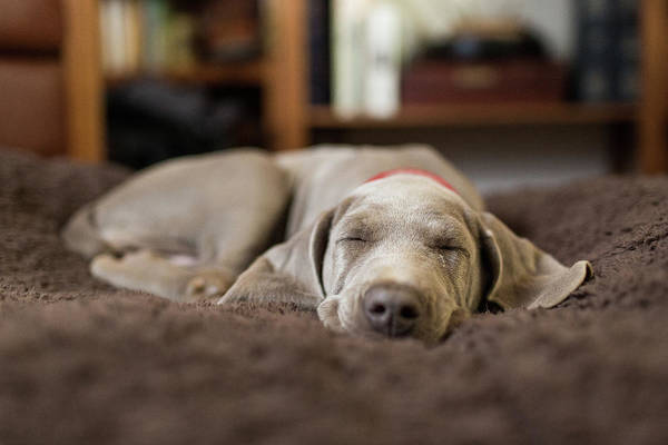 Pets Photograph - Weimaraner Puppy Sleeping Indoors by Purple Collar Pet Photography
