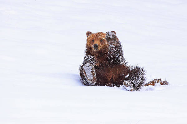 Grizzly Bears Photograph - Welcome To Yellowstone by Steve Hinch