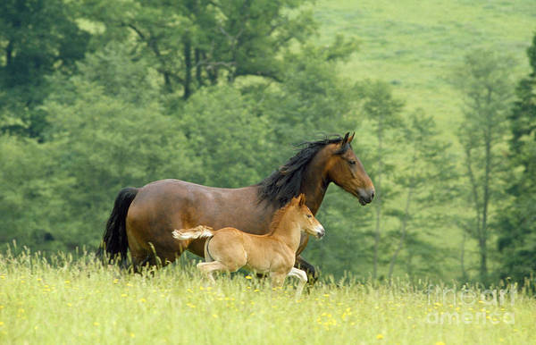 Photograph - Welsh Cob Mare And Foal by Jean-Paul Ferrero