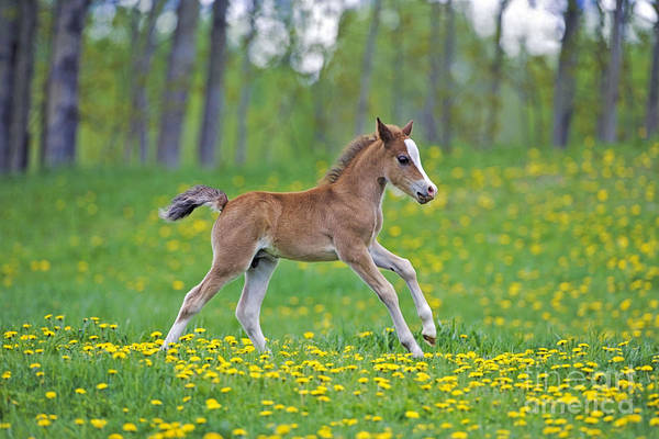 Photograph - Welsh Mountain Pony Colt by Rolf Kopfle