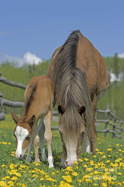 Photograph - Welsh Pony Mare And Foal Grazing by Rolf Kopfle