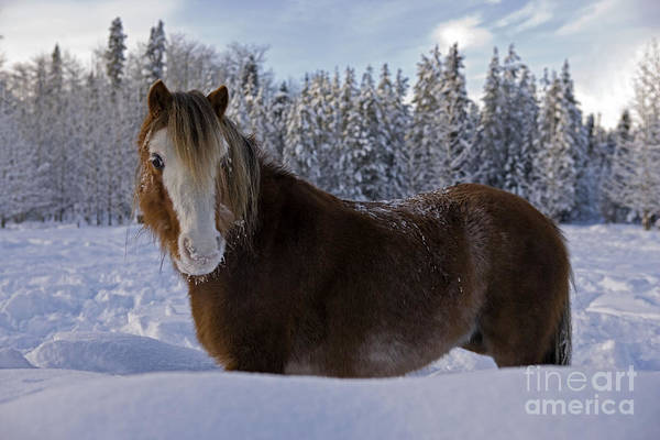 Photograph - Welsh Pony Snow by Rolf Kopfle
