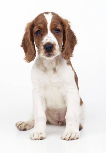 Springer Spaniel Photograph - Welsh Springer Spaniel Dog by John Daniels