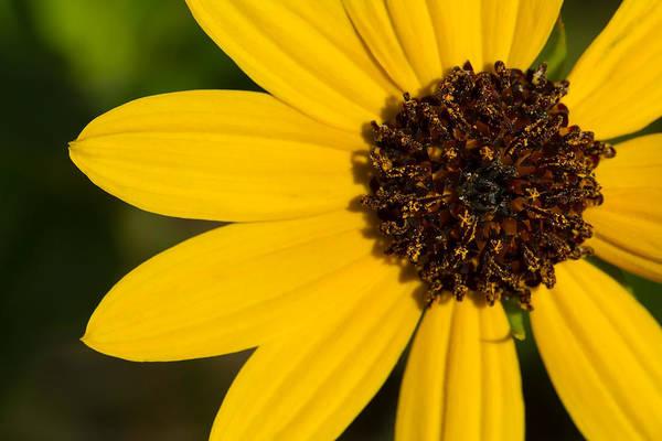Photograph - West Coast Dune Sunflower by Paul Rebmann