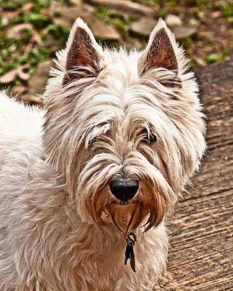 Photograph - West Highland White Terrier by Robert L Jackson