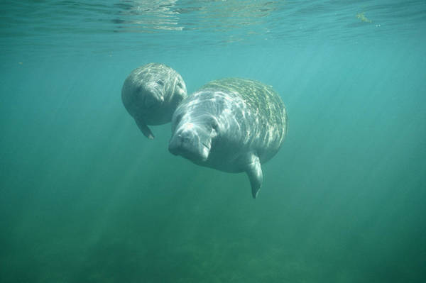 West Indian Manatee Photograph - West Indian Manatee And Young Wintering by Tui De Roy