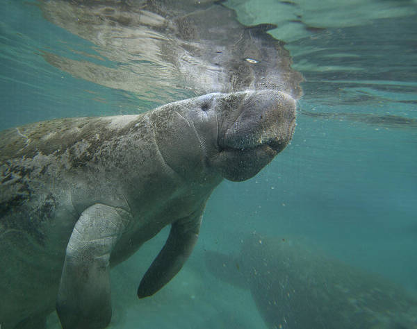 Manatee Photograph - West Indian Manatee Crystal River by Tim Fitzharris