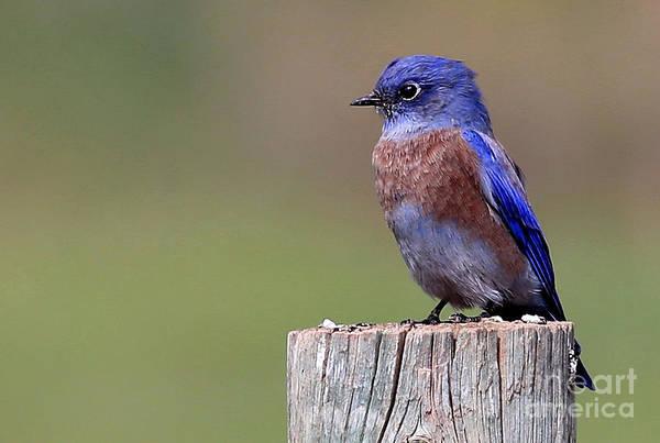 Wall Art - Photograph - Western Bluebird by Marty Fancy