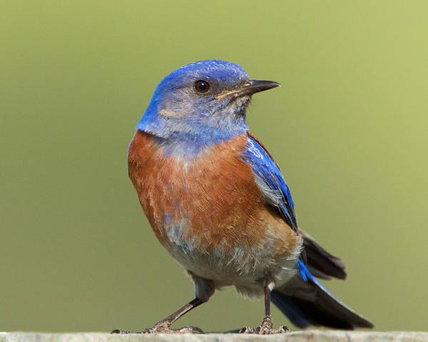 Photograph - Western Bluebird by Steve Kaye