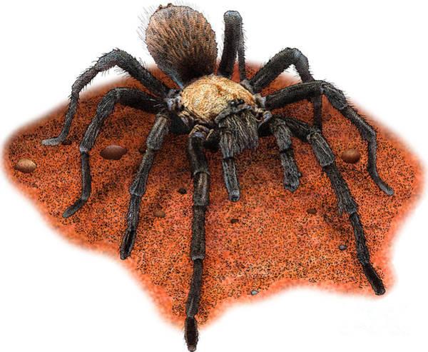 Photograph - Illustration Of Western Desert Tarantula  by Roger Hall
