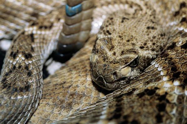 Rattlesnake Photograph - Western Diamondback Rattlesnake by Sally Mccrae Kuyper/science Photo Library