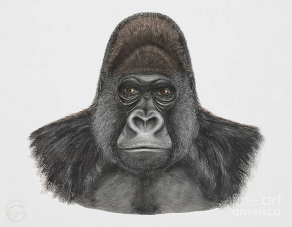Painting - Western Gorilla - Gorilla Gorilla - Gorille De L'ouest - Gorila Occidental - Ocidente - Occidentale  by Urft Valley Art