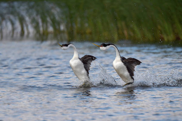 Courtship Display Photograph - Western Grebe Courtship Display by Dr P. Marazzi/science Photo Library
