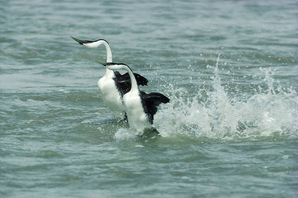 Dancing Bears Photograph - Western Grebe Pair Dancing On Water by Phil A. Dotson