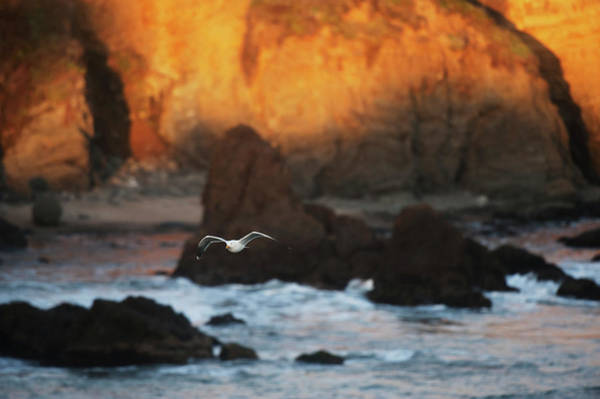 Western Pacific Photograph - Western Gull Larus Occidentalis Flying by Setareh Vatan / Design Pics