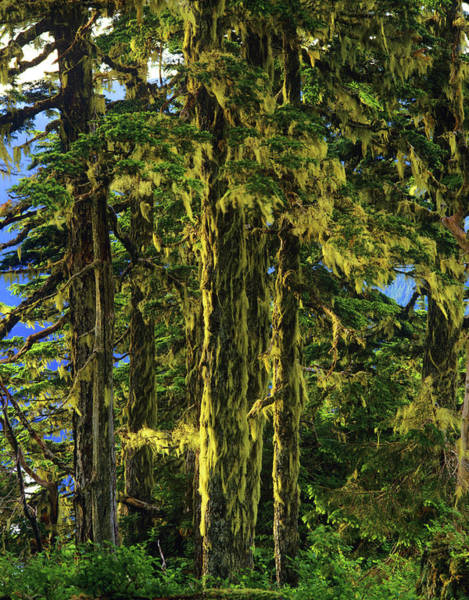 Hemlock Photograph - Western Hemlock And Lichen, Temperate by Howie Garber