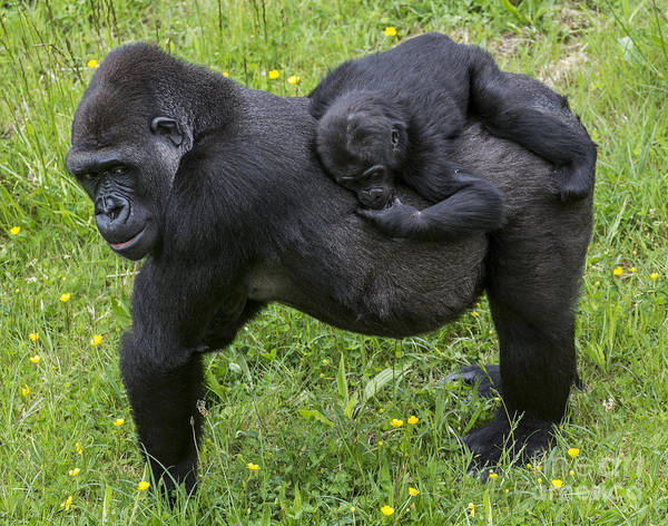 Photograph - Western Lowland Gorilla 2 by Arterra Picture Library