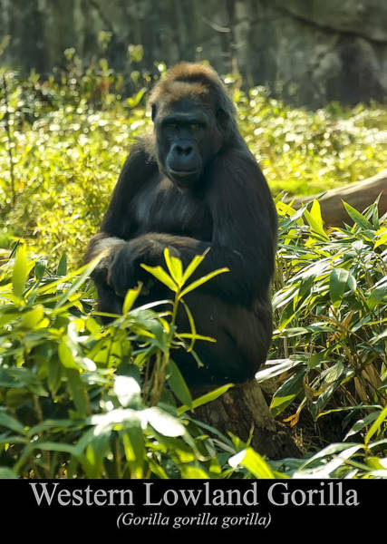 Digital Art - Western Lowland Gorilla Sitting On A Tree Stump by Chris Flees