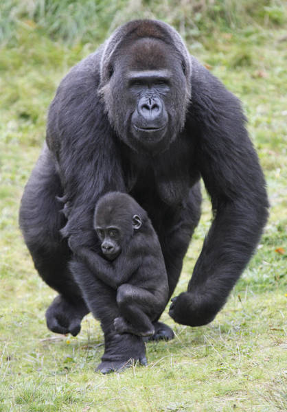 Photograph - Western Lowland Gorilla Walking by Duncan Usher