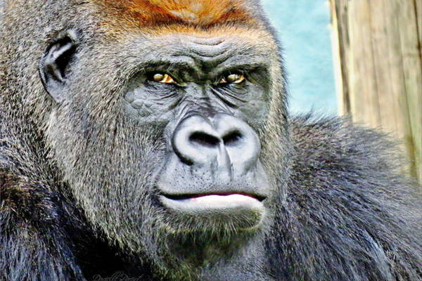 Photograph - Western Lowland Gorilla With Intense Gaze by Danielle  Parent