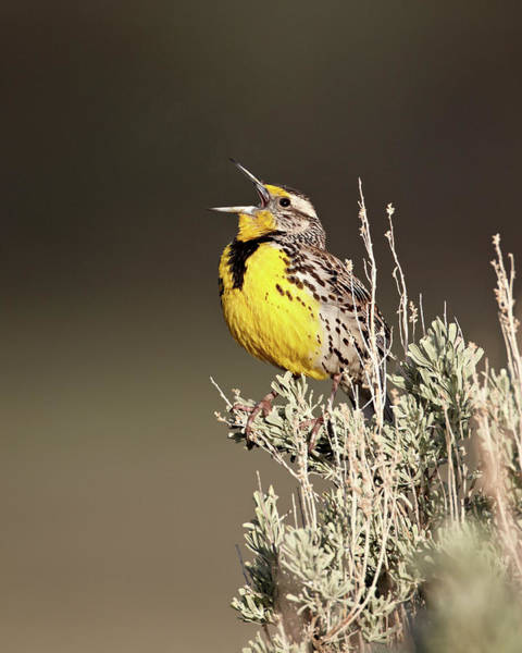 Urban Wildlife Photograph - Western Meadowlark Sturnella Neglecta by James Hager / Robertharding