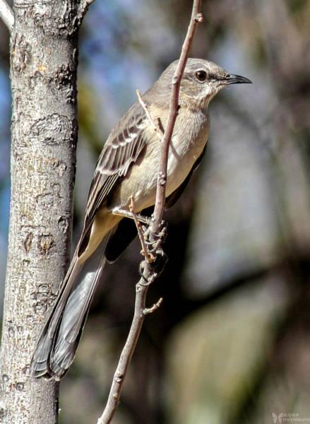 Photograph - Western Mockingbird by Elaine Malott