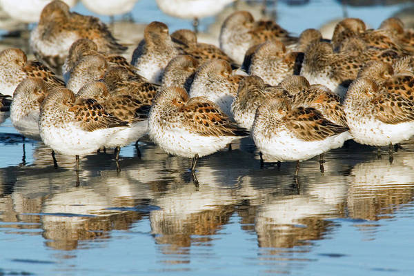 Wall Art - Photograph - Western Sandpipers, Resting by Ken Archer