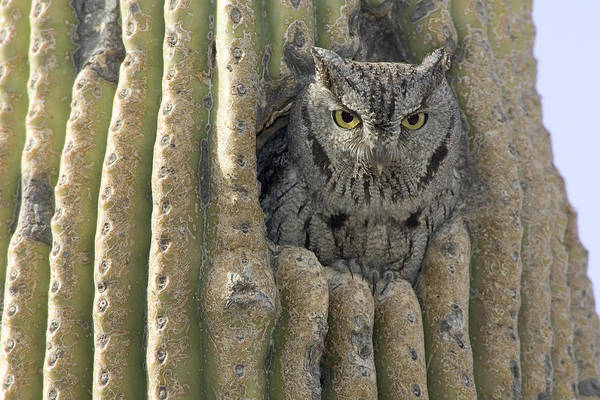Wall Art - Photograph - Western Screech Owl by Craig K. Lorenz