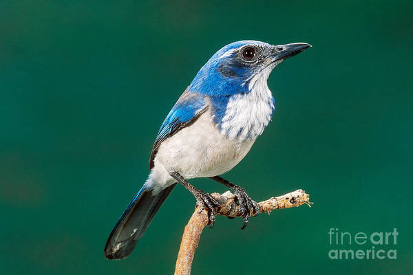 Scrub Jay Photograph - Western Scrub Jay by Anthony Mercieca