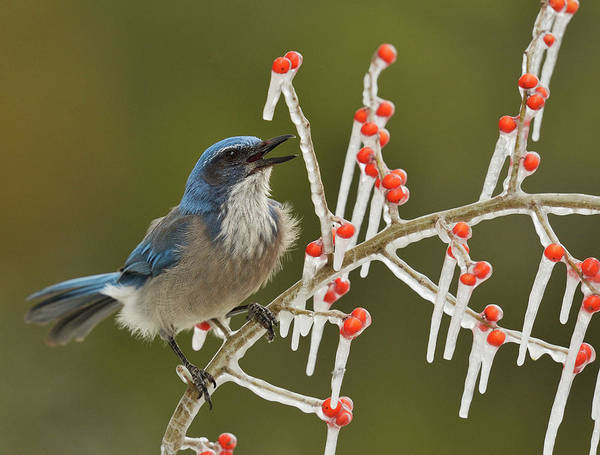 Scrub Jay Photograph - Western Scrub-jay Singing On Icy Branch by Rolf Nussbaumer