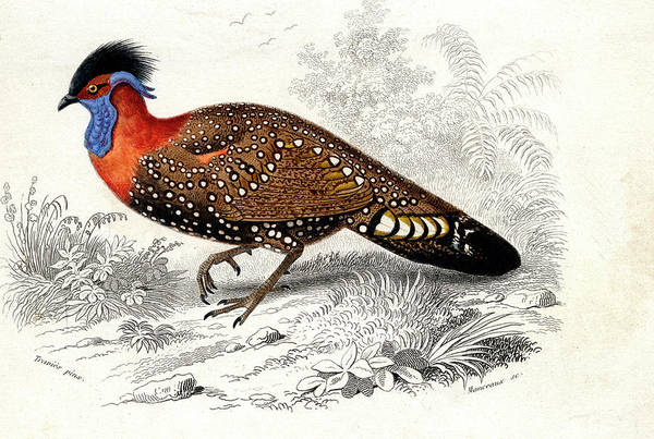 1800s Wall Art - Photograph - Western Tragopan by Collection Abecasis